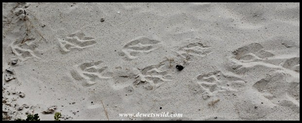African Penguin tracks