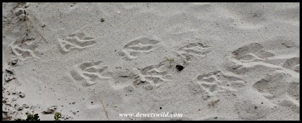 African Penguin tracks