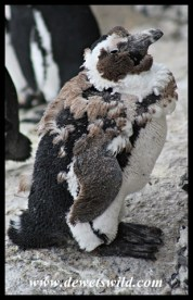 African Penguin moulting