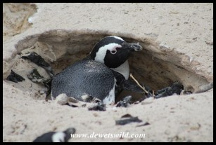 African Penguin at nest burrow
