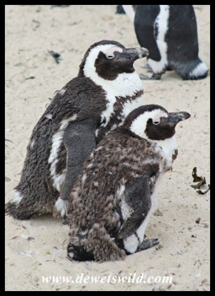 African Penguins moulting