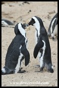 African Penguin pair greeting