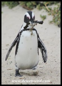 African Penguin gathering nesting material