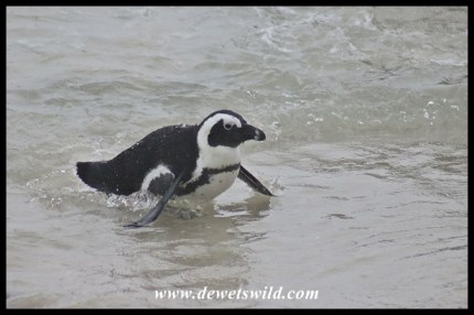 African Penguin emerging from the surf