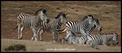 Plains Zebras on the run