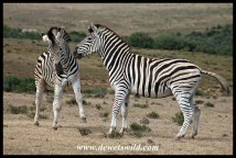 Plains Zebra altercation