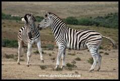 Plains Zebra altercation