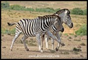 Plains Zebra trying to trip an opponent