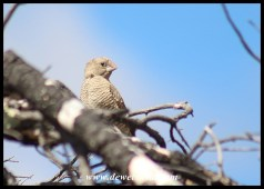 Red-headed Finch (female)