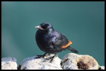 Red-winged Starling