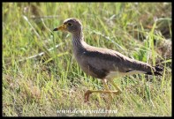 African Wattled Lapwing (immature)