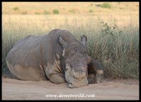 White rhino bull (dehorned to protect against poaching)
