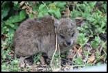 Rock hyrax, or dassie, baby