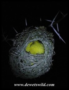 Southern Masked Weaver inside nest