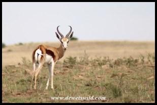 Territorial springbok ram