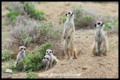 Meerkat / Suricate