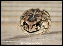 Raucous Toad: Storms River Mouth has an amazing variety of toads and frogs that show themselves after dark