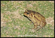 Eastern Leopard Toad: Storms River Mouth has an amazing variety of toads and frogs that show themselves after dark