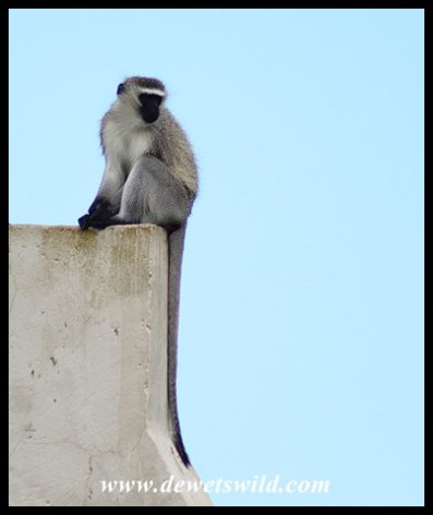Vervet Monkey_Addo_Dec2017 (96)