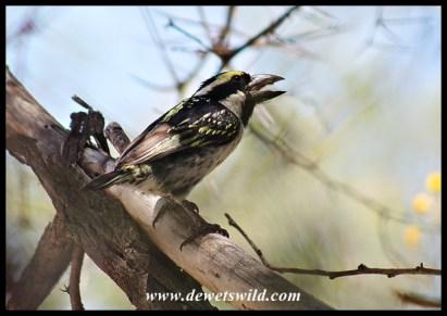 Acacia Pied Barbet
