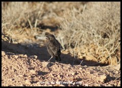 Ant-eating Chat chick at nest burrow