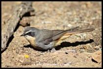 Cape Robin-Chat