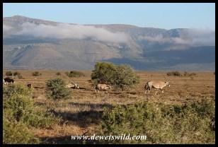 Gemsbok roaming the plains of Camdeboo