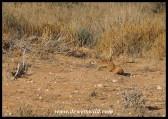 Meerkat digging furiously