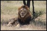Lion near Skukuza