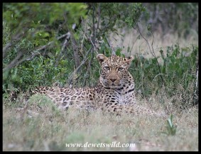 Leopard near Lower Sabie