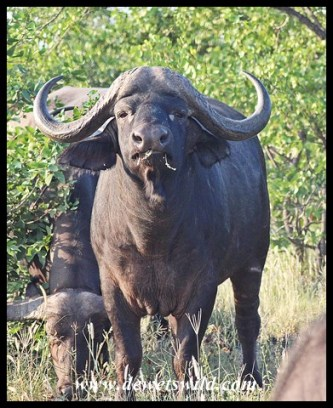 Buffalo near Mopani