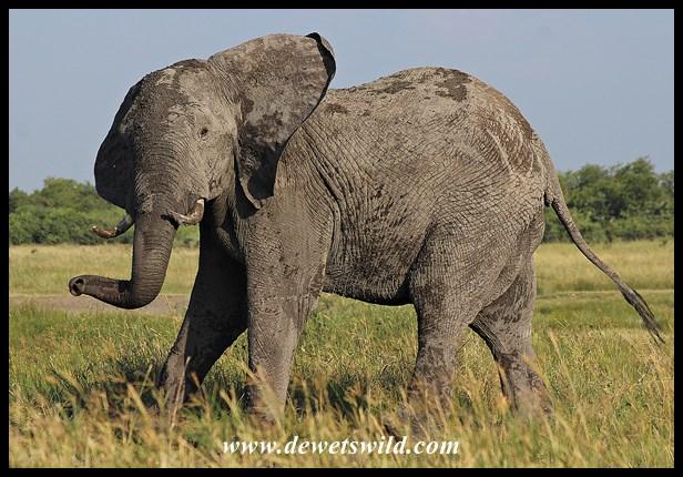Elephant near Mopani