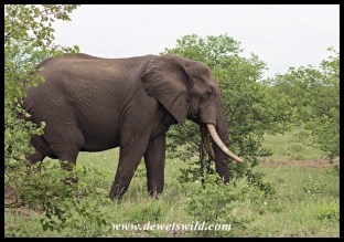 Yet to be identified Kruger Tusker