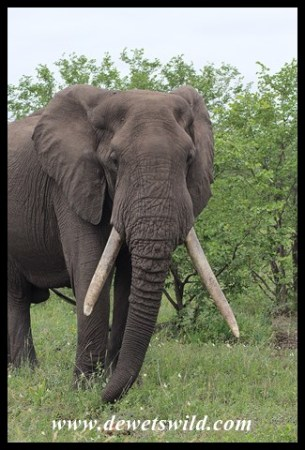 Unknown Kruger Tusker (2018/04/02)