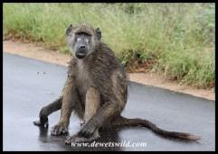 Wet Baboon after a rainstorm