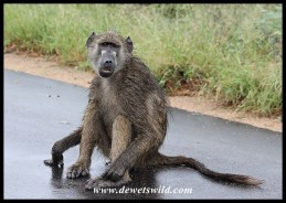 Wet Baboon after a rainstorm