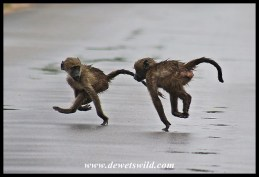 Baboon youngsters at speed!