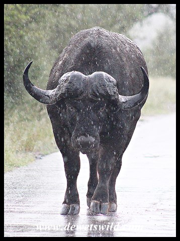 Buffalo in the rain