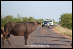 Buffalo roadblock