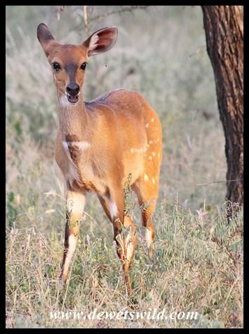Bushbuck near Skukuza