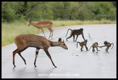 Bushbuck mingling with baboons and impala along the Sand River