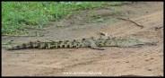 Nile crocodile at Sunset Dam