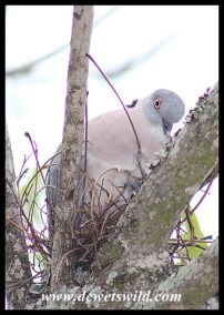 African Mourning Dove on a nest at Satara