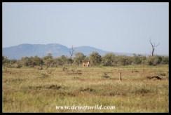 Eland at Tinhongonyeni