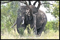 Unknown Kruger Tusker (2018/03/21)