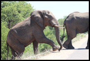 Elephants on the way to Phalaborwa Gate