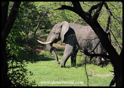 Elephant bull enjoying a puddle near Mopani