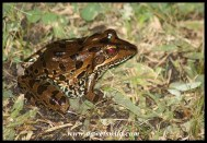 Sharp-nosed Grass Frog in Skukuza