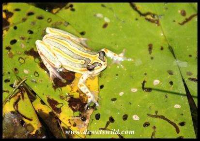 Painted Reed Frog in Skukuza