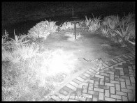 Large-spotted Genet patrolling outside our bungalow at Skukuza